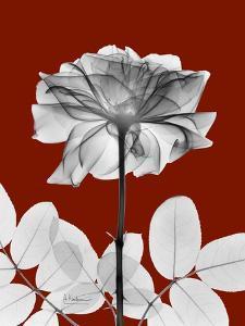 Tonal Rose on Crimson 2 by Albert Koetsier