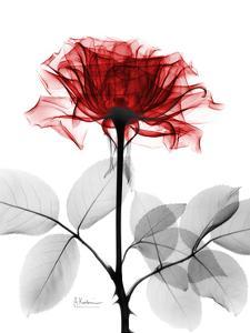 Tonal Rose on White by Albert Koetsier