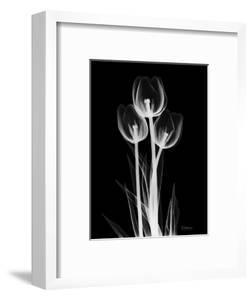 Trio Tulip Xray by Albert Koetsier