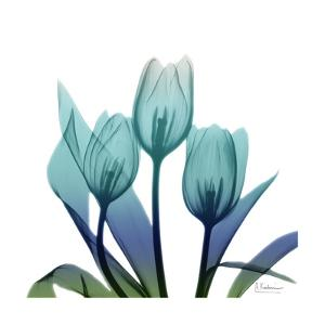 Tulip Buddies by Albert Koetsier