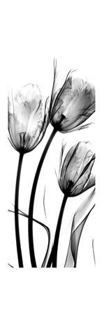 Tulip C54