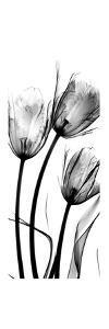 Tulip C54 by Albert Koetsier