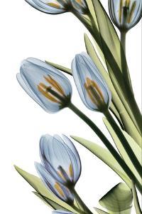 Tulip Cascade by Albert Koetsier