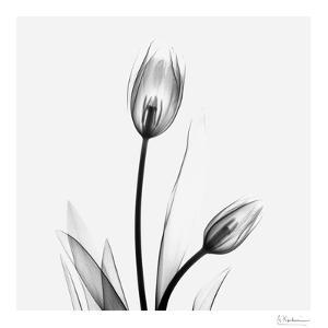 Tulip Gray 1 by Albert Koetsier