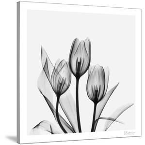 Tulip Gray 2 by Albert Koetsier