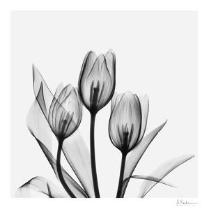 Tulip Gray 2 by Albert Koetsier