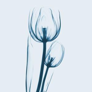 Tulip in Blue by Albert Koetsier