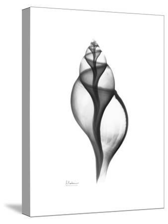 Tulip Shell in Black and White