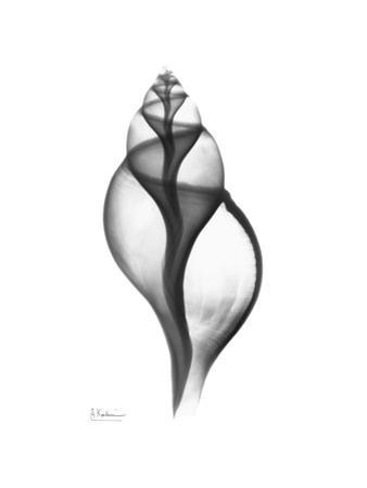 Tulip Shell in Black and White by Albert Koetsier