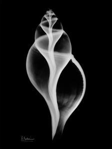 Tulip Shell on Black by Albert Koetsier