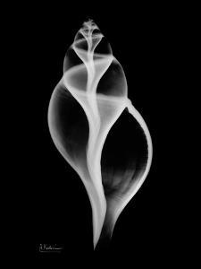 Tulip Shell on Black by Albert Koetsier
