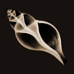 Tulip Shell Sepia by Albert Koetsier