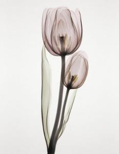 Tulipa II by Albert Koetsier