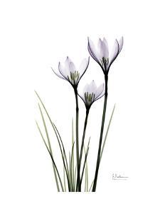 Whit Rain Lily Portrait by Albert Koetsier