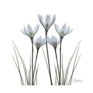 White Rain Lily 1 by Albert Koetsier