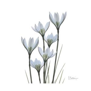 White Rain Lily 3 by Albert Koetsier