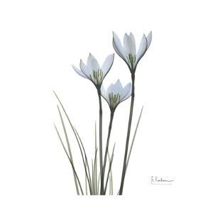White Rain Lily 5 by Albert Koetsier