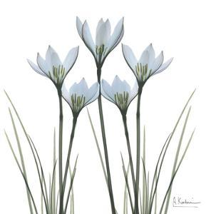 White Rain Lily II by Albert Koetsier