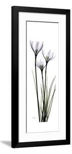 White Rain Lily by Albert Koetsier