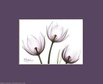 X-Ray Blackberry Tulips by Albert Koetsier