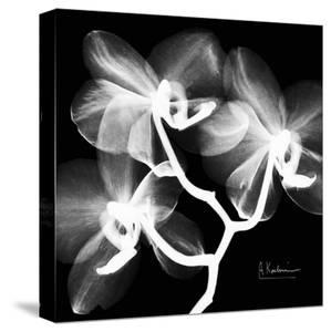 Xray Orchid by Albert Koetsier