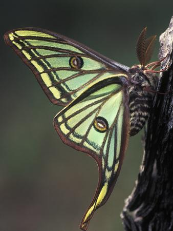 Spanish Moon Moth (Graellsia Isabellae) Pyrenees, Spain
