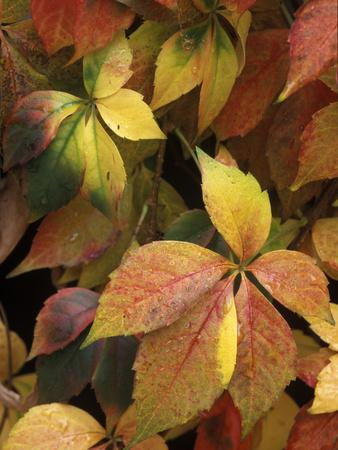 Virginia Creeper (Parthenocissus Quinquefolia) Leaves, Native to Eastern and Central North America