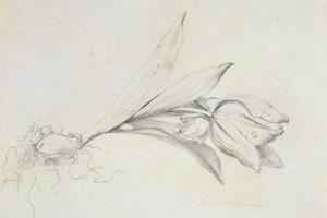 Tulip by Albert Williams