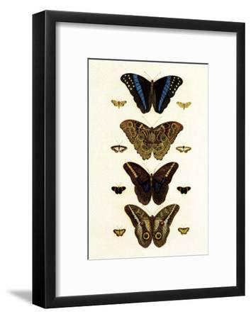Blue Morphos Butterflies and Moths