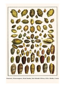 Bonnets, Muscreepers, Mud Snails, Red-Mouth Olives, Olive Shells, Cones by Albertus Seba