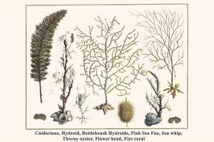 Cnidarians, Hydroid, Bottlebrush Hydroids, Pink Sea Fan, Sea Whip, Thorny Oyster, Flower Head, etc. by Albertus Seba