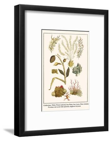 Cnidarians, White Weed, Hydroid, Sea Plant, Sea Laces, Moss Animal, etc.