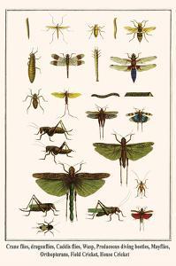 Crane Flies, Dragonflies, Caddis Flies, Wasp, Predaceous Diving Beetles, Mayflies, etc. by Albertus Seba