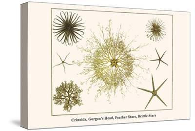 Crinoids, Gorgon's Head, Feather Stars, Brittle Stars