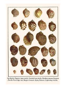 Fig Shells, Papery Rapa Snails, Sootted Tun Shells, Mediterranean Bonnets, etc. by Albertus Seba