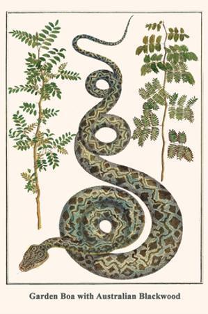 Garden Boa with Australian Blackwood by Albertus Seba