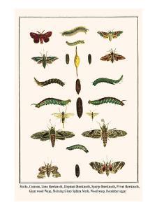 Moths, Coccoon, Lime Hawkmoth, Elephant Hawkmoth, Spurge Hawkmoth, Privet Hawkmoth, etc. by Albertus Seba