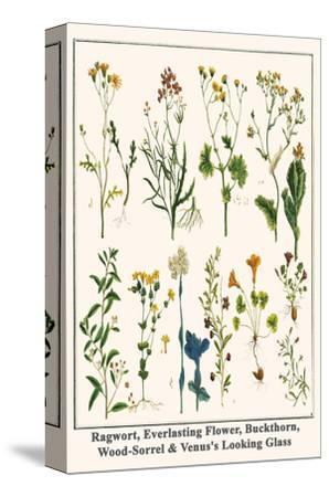 Ragwort, Everlasting Flower, Buckthorn, Wood-Sorrel and Venus's Looking Glass