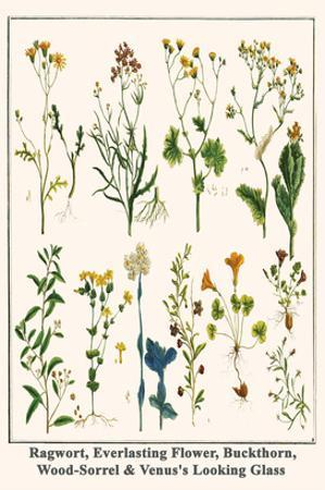 Ragwort, Everlasting Flower, Buckthorn, Wood-Sorrel and Venus's Looking Glass