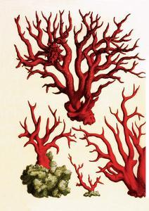 Red Coral, Cabinet of Natural Curiosities (1734-1765) by Albertus Seba