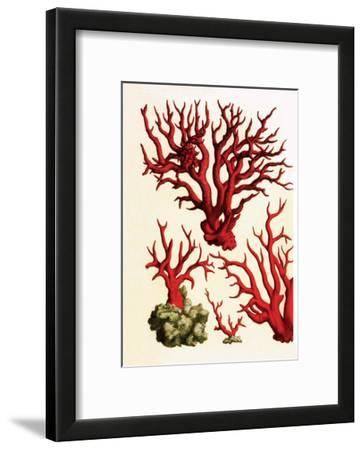 Red Coral, Cabinet of Natural Curiosities (1734-1765)