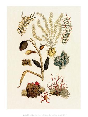 Sea Lace, Red Coral, Cabinet Of Natural Curiosities (1734 1765)Albertus Seba