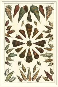 Seba Shell Collection II by Albertus Seba