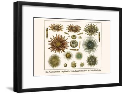 Slate Pencil Sea Urchins, Long Spined Sea Urchin, Hatpin Urchins, Black Sea Urchin, Mine Urchins