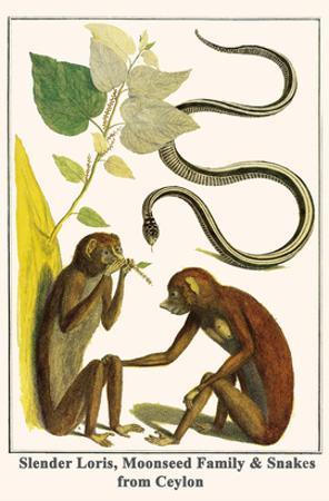 Slender Loris, Moonseed Family and Snakes from Ceylon by Albertus Seba