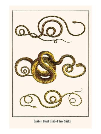 Snakes, Blunt Headed Tree Snake