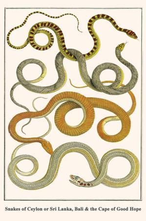 Snakes of Ceylon or Sri Lanka, Bali and the Cape of Good Hope