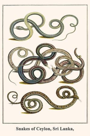 Snakes of Ceylon, Sri Lanka, by Albertus Seba