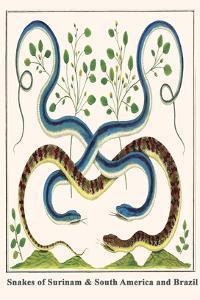 Snakes of Surinam and South America and Brazil by Albertus Seba
