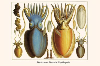 Ten Arm or Tentacle Cephlopods by Albertus Seba